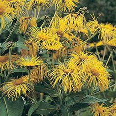 Inula orientalis Inula glandulosa