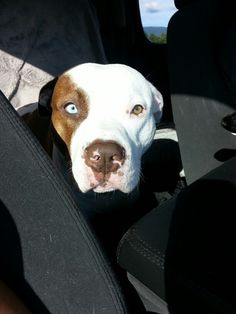 This is my beautiful boy Tyson! Rednose American pitbull terrier.
