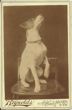 """c.1880s cabinet card of """"Sporty,"""" sitting with one raised paw, looking up and wearing a collar with bells on it. Dog's name written in pencil on verso. Photo by E. E. Reynolds, Fair Haven, Vt. From bendale collection"""