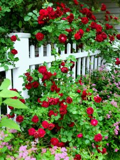 Red roses tumbling over and growing through a white picket fence