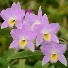 Sunset Valley Orchids - L. Finckeniana 'Kenedy's' 4n
