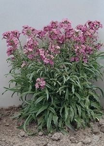 Pase Seeds - Cheiranthus Little Kiss 50 Perennial Seeds Pase Perennial Seeds, $2.99 (http://www.paseseeds.com/cheiranthus-little-kiss-50-perennial-seeds-pase-perennial-seeds/)