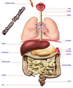 40 Ideas De Cuerpo Humano Cuerpo Humano Cuerpo Músculos Del Cuerpo Humano