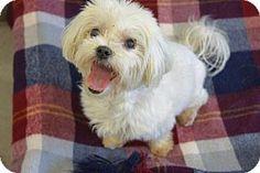 Agoura Hills, CA - Maltese. Meet 'BRIGITTE', a dog for adoption. http://www.adoptapet.com/pet/13359101-agoura-hills-california-maltese