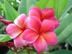 Capalaba Pink Plumeria - Plumeria by Florida Colors Exotic Flowers, Tropical Flowers, Yellow Flowers, Colorful Flowers, Beautiful Flowers, Plumeria Flowers, Hawaiian Flowers, Draw Flowers, Tulips Flowers