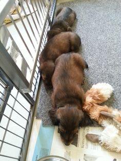 Ha ha ha .. Little doxie`s on line!  #little #doxie #puppy #sleeping