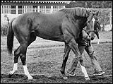 Secretariat a racing legend that won the Triple Crown. America's hero and racing legend. All The Pretty Horses, Beautiful Horses, Animals Beautiful, The Great Race, Sport Of Kings, Charro, Thoroughbred Horse, Racehorse, Horse Love