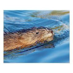 20x16 Muskrat at Vassar Farms Ecological Preserve Poster - animal gift ideas animals and pets diy customize
