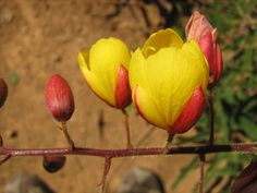 Flor do cerrado goiano - Chapada dos Veadeiros