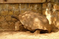 Giant Tortoise found at Domaine de Fontenay, Madagascar