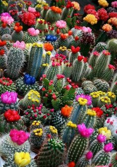 you'd never expected cactaceas blooms such beautiful flowers