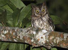 Otus jolandae on muiden pöllöjen tavoin yöeläin.