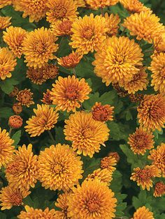 Beautiful Flowers Garden, Exotic Flowers, Orange Flowers, Yellow Roses, Pretty Flowers, Beautiful Gardens, Pink Roses, Fall Mums, Landscaping
