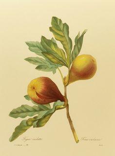 Vintage Violette Fig, French Kitchen Art Decor, Pierre Joseph Redoute Print, Golden Fruit Art Illustration (9 x 12 Illustration No. 38). $5.00, via Etsy.