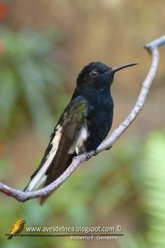 Beija-flor-preto (Black-Jacobim) Florisuga fusca