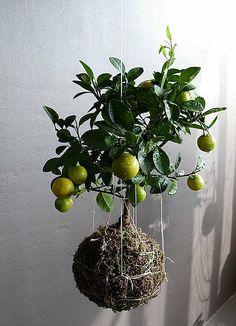 String Garden bonsai