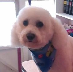 Snowy Bichon with long ears. Bichon Dog, Bichon Frise, Bichons, Dog Memorial, Reasons To Smile, Puppys, Dog Grooming, Cute Puppies, Doggies