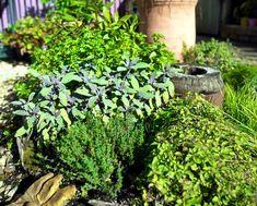 Vhodný je také přídavek dřevěného popela v množství dva kbelíky na metr čtverečný. Mimo dalších prvků přidá do půdy vápník, který většině aromatických bylin svědčí. Prospěje jim i menší dávka vyzrálého kompost.