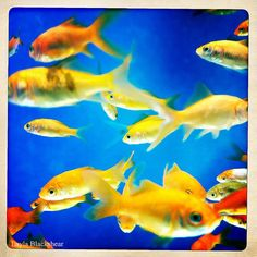 One Fish Two Fish 8x8 Photograph by PictureBook on Etsy, $26.00  #etsy #goldfish #hipstamatic