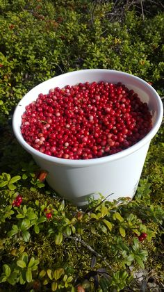 Lingonberries. As much as you can pick.