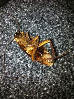 Roach found on 06/26/2014. Dead!
