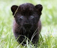 Baby Jaquar