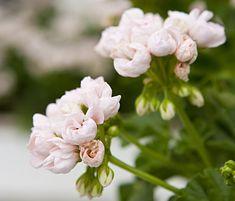 Pelargonin keväthoito – Kotiliesi