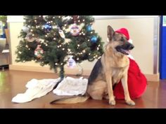 Thanks to Dunder, it's a very Merry Christmas for the dogs of the Humane Society of Silicon Valley! Check out this adorable and heartwarming video of Dunder delivering KONG toys to all the good boys and girls at the shelter. Shelter Dogs, Animal Shelter, Places To Volunteer, Kong Toys, Very Merry Christmas, Humane Society, Boys, Girls, Boy Or Girl