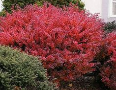 Red Leaf Shrubs and Plants | another good screen shrub is b gagnepainii evergreen up to
