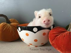 "| Juliana Mini Pig | Tucson Tiny Pigs | ""Fern"" 
