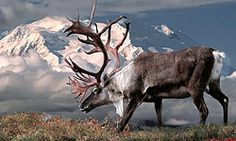 Denali National Park and Preserve. Alaska - one of the Top 10 Places to See Wildlife in North America.
