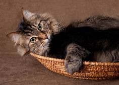 A beautiful Maine Coon cat.  The best type of cat in the world.  They are loving, and kind and caring an so full of life.