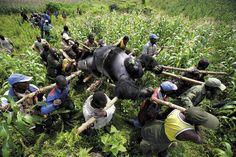 Brent Stirton - Evacuation of dead Mountain Gorillas, Virunga National Park, Eastern Congo