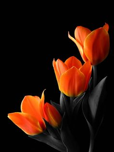 Ravenwhimsy's Wonderful World — thephynster:   oceanflower2015:  Tulips by...