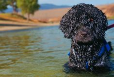 List of dog breeds that have 'non-shedding coats'