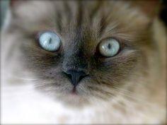 ol'blue eyes Ragdoll kitten