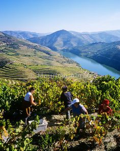 Harvest on the vineyards of Quinta do Infantado, on the Douro region, Portugal - origin of the world famous Port wine | UNESCO World Heritage Site