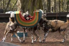 wild animal enrichment images | African wild dog brothers Widdle, Wally and Wooster go after their St ...