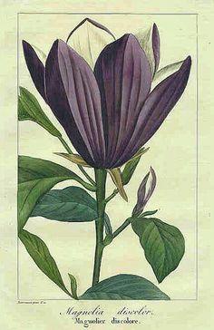 stilllifequickheart:   Pancrace Bessa Magnolia 1836