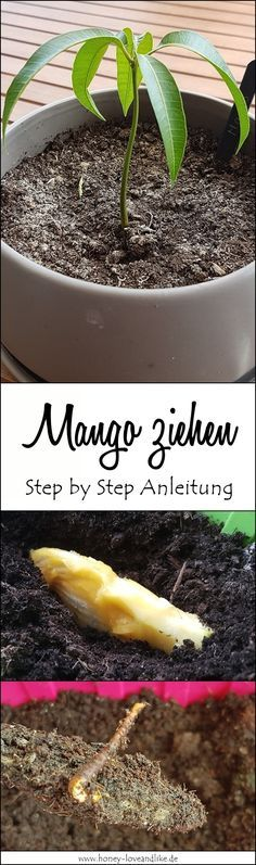Mango pull made easy with simple step by step attachment.- Mango ziehen leicht gemacht mit einfacher Step by Step Anleitung It& that easy to pull a mango! Step by step instructions. Herb Garden Design, Garden Types, Diy Garden, Gardening For Beginners, Gardening Tips, Garden Plants, Indoor Plants, Fruit Garden, Vegetable Garden