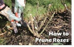 How to Prune Roses - Amateur Gardening