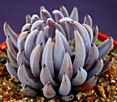 Echeveria unguiculata - Google'da Ara