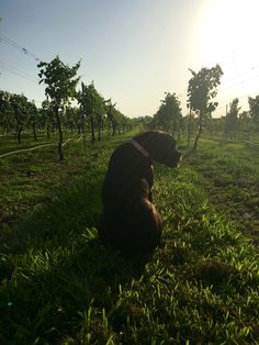 Yes, our #vineyards and winery are dog friendly! #winerydog