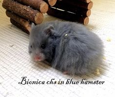 Bionica chs in blue hamster Blue, Animals, Animales, Animaux, Animal, Animais