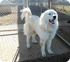 4/9/14 Duncan, OK - Great Pyrenees. Meet HARRY a Dog for Adoption.