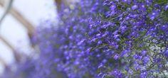LOBELIAT (LOBELIA) Kellokasveihin, Campanulaceae, kuuluvat lobeliat ovat kotoisin Etelä-Afrikasta ja ne voidaan laskea ruukkukukkien klassikoiksi. Lobeliat kukkivat pitkään pienin, kevyin kukin joita on runsaasti. Niitä käytetään paljon kukkaryhmissä täydentämässä ruukku-asetelmaa mutta ne ovat kauniita myös yksin omassa ruukussaan.  Sinilobelia (Lobelia erinus) on pystykasvuinen ja sitä käytetään koristeena kasviryhmien reunoilla. Kauniin sinisen värin lisäksi kukan …