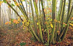 Want to create space and colour and harvest your own firewood? Coppicing trees and shrubs is well worth the effort