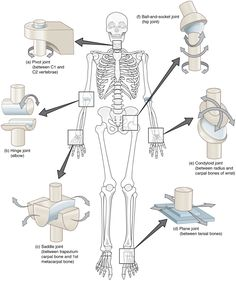 Human Joints, Body Joints, Joints Of The Body, Muscle Anatomy, Body Anatomy, Clinique Chiropratique, Skeletal System Worksheet, Synovial Joint, Musculoskeletal System