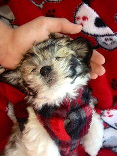 Shitzu Dogs For Sale In Hamilton Ontario