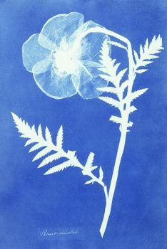 Poppy  Photo by Anna Atkins (1799-1871)   Cyanotype, England, c. 1852